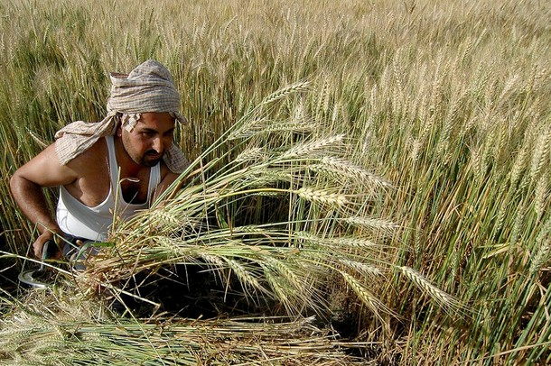 FILES-INDIA-ECONOMY-AGRICULTURE-WHEAT